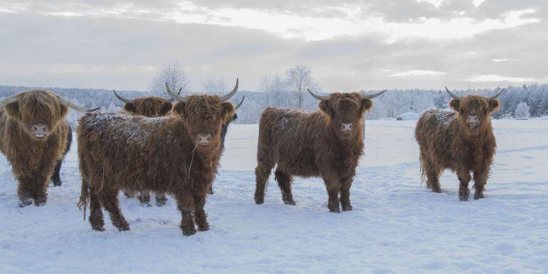 Honkaniemen tilan ylämaankarjasonneja laitumella talvella lumikinosten keskellä.