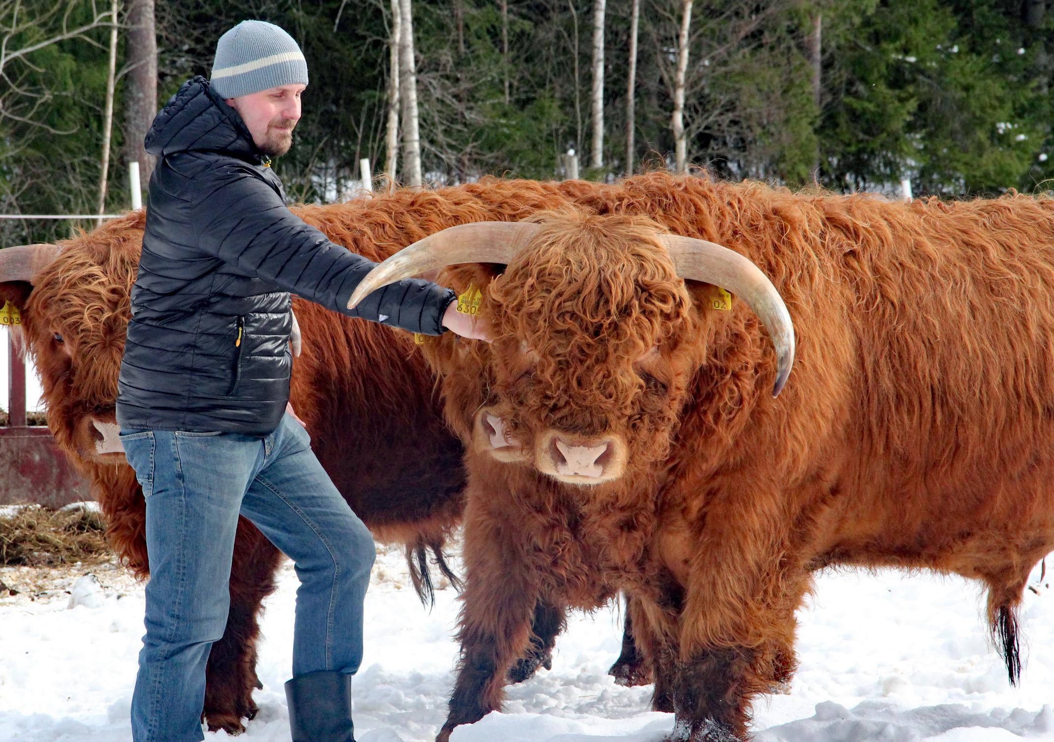 Honkaniemen tilan Marko Honkaniemi ja ylämaan karjaa