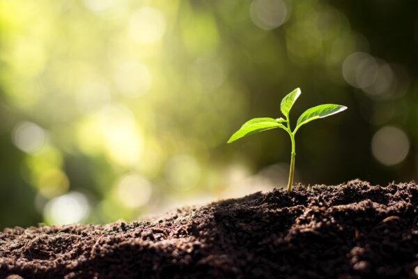 Pieni vihreä kasvin itu työntyy mullasta.